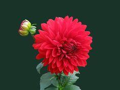 Free Photo: Dahlia, Red, Flower - Free Image on Pixabay - 252503