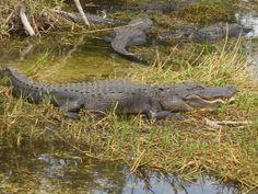 Gators near Merritt Island FLA Merritt Island, Cocoa Beach, Places Ive Been, Florida, Live, Nature, Animals, Naturaleza, Animales