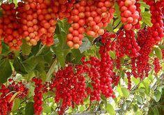 ЛИМОННИК — плод с пятью вкусами!!!