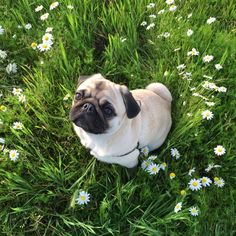 Ginger the pug in the flowers