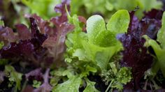 Mixed baby lettuces are very easy to grow from seed, though they won't germinate if it's too hot. Keep soil moist to reduce soil temperature. Hand watering also cools the greens down on hot days.
