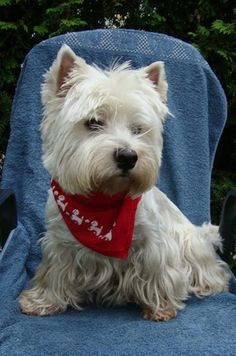 Westie with a bandana! My Westie goes nuts for his bandana!!