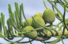 Cones growing on a Parana pine or Candelabra Tree (Araucaria angustifolia) - they will each get to be 7–10 inch diameter pods, and hold about 100–150 nut-like seeds called pinhão, which are a popular snack in Brazil