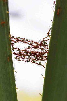 Ant bridge    her site bugs /lauriegirtman/insects-spiders/     BACK