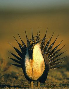 The sage grouse, one of the animals affected by fracking near national park land. Photo © Twildlife/iStockphoto.