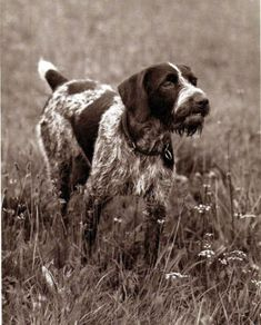 German Wirehaired Pointer On Point, Nice 1941 Print
