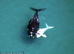 Even when its kid looks totally different, the mother loves in unconditionally! Here an Albino Whale calf and it's mother in a Kodak moment Smile for the camera: The animals are seen face-on, perhaps curious about the loud buzzing object in the sky http://www.dailymail.co.uk/sciencetech/article-2156469/White-coastline-albino-whale-calf-follows-mother-annual-migration.html#