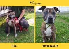 Fido is an adorable 7 year old Staffie at Dogs Trust Salisbury who loves meeting new people and likes other dogs too. His favourite game is 'fetch', he loves his tennis balls! As you can see Fido is blind in one eye so he prefers people not to move too quickly around his head as it sometimes surprises him.