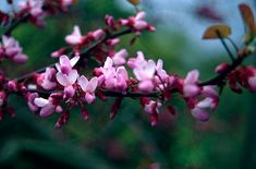 Judas tree: 'C. siliquastrum is a bushy, deciduous small tree. Leaves to 10cm in width, broadly heart-shaped. Flowers rosy-pink, pea-shaped, in clusters on the older wood. Fruit a conspicuous flattened purplish pod to 12cm in length