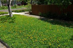 Arachis Glabrata / Perennial Peanut - groundcover between garden beds? - a past Florida Garden Select winner