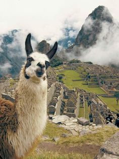 Llamas always look to me like they have the facial expression and mien of an Incan Prince! images of an Amazing Machu Picchu Trip and Peru Adventures! #bestmachupicchuguides #incaruins #bucketlist