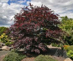 Acer palmatum 'Sherwood Flame' - Deep rich red color in spring and summer.