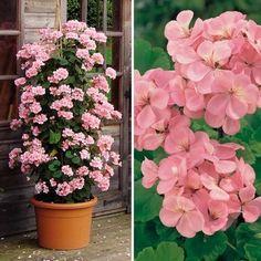 Pelargonium PAC® ´Antik Salmon´ / Muškát rýchlo rastúci, bal. 3 ks, 3 x Salmon, Floral Wreath, Wreaths, Flower Gardening, Flowers, Plants, Home Decor, Homemade Home Decor, Flower Crowns