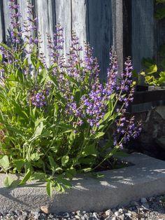 salvie Plants, Plant, Planting, Planets