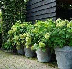 Green Potted Hydrangeas