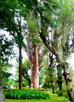 Eucalipto de la Alameda. Tiene casi 150 años de antigüedad, 8 m. de perímetro y más de 45 m. de altura.
