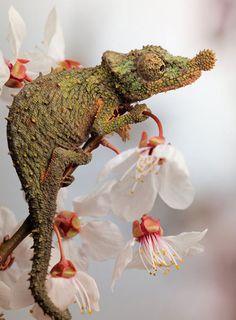 Rosette-Nosed Chameleon