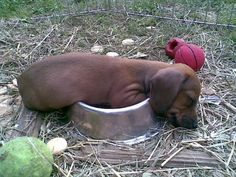 Talk about an after-dinner nap... - photo via Crusoe the Celebrity Dachshund on fb