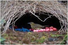 bower bird - Google Search