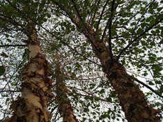 betula nigra river birch zone 4