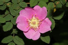 Rosa acicularis (Common Wild Rose) by Nick Dean1, via Flickr
