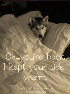 Silly Husky kept your side of the bed warm while you were away. How thoughtful!