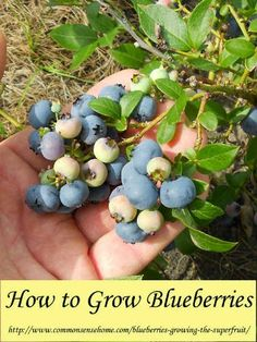 Have you tried growing blueberries and had poor results? This post can help you. Learn how to grow your own buckets full of ‪blueberries at home, in your front or back yard...