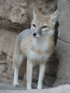 Swift Fox by Cindy Carcamo - National Geographic Your Shot