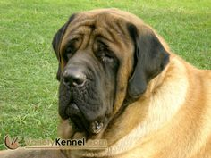 English Mastiff - Look at this hunk of love!!