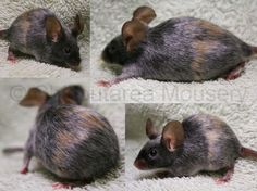 Black and Red Merle (new mutation) Fancy Show Mouse