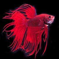 Vídeos de Peixes Betta                                                                                                                                                                                 Mais