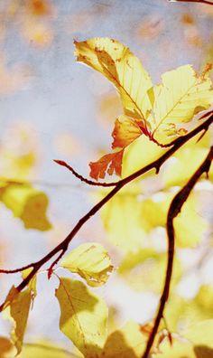 Translucent fall leaves
