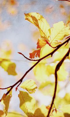 Translucent fall leaves