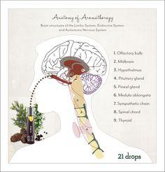 Anatomy of Aromatherapy. @21 Drops