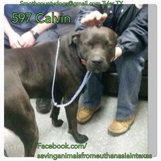 04/02/15-Smith County Tyler, TX Calvin #597 Boxer Mix ~ Black & White Male 64 lbs 1 ½ yrs. 3/27 no chip TAG by Tuesday April 7 by 5 PM! Next pickup will be Wednesday April 8 at 10:30 AM. MUST BRING CRATES AT PICKUP OR WILL NOT BE RELEASED!!