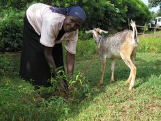 As livestock farming intensifies in poor countries, so can livestock--and livestock-to-human--diseases