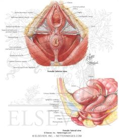 ann frye paper pelvic floor - Google Search