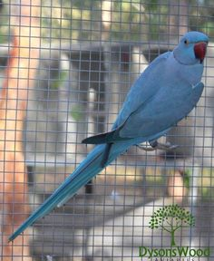 LOST INDIAN RINGNECK PARAKEET: 05/11/2016 - Morayfield, Queensland, QLD, Australia. Ref#: L28007 - #ParrotAlert #LostBird #LostParrot #MissingBird #MissingParrot #LostIndianRingneckParakeet #MissingIndianRingneckParakeet
