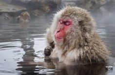 Harnessing Zen. Macaques of Jigokudani, Japan