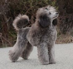 Fantaisya The Beautiful Grey Of Marysa & Poodles In Scandinavia Fantaisya The Beautiful Grey Of Marysa & Poodles In Scandinavia Source by sophiaiws The post Fantaisya The Beautiful Grey Of Marysa & Poodles In Scandinavia appeared first on Dogs With Brian. Poodle Puppies For Sale, Baby Puppies, Baby Dogs, Pet Dogs, Pets, Grey Poodle, Silver Poodle, Poodle Cuts, Dog Items