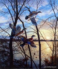 The colors of sunset provide the perfect backdrop for these colorful wood ducks flying near a wooded lake in the David Maass print EVENING FLIGHT-WOOD DUCKS. This print is signed and numbered with a c