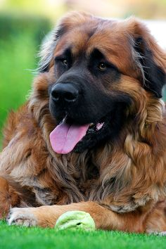 Leonberger beautiful dogs theres no doubt anyone would mess with you if this buddy was around! <3