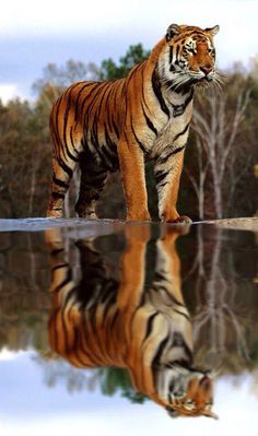 Stunning Bigger Than Life Tiger & His Reflection. Nature Animals, Animals And Pets, Funny Animals, Cute Animals, Big Cats, Cool Cats, Cats And Kittens, Beautiful Cats, Animals Beautiful