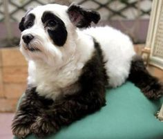 Dog panda.  Lots of lovely dogs-not-dogs on here @charley mccoy