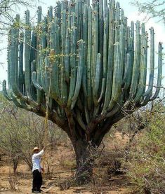 Funny pictures about Cactus In Oaxaca. Oh, and cool pics about Cactus In Oaxaca. Also, Cactus In Oaxaca photos. Unusual Plants, Cool Plants, Weird Plants, Weird Trees, Dame Nature, Unique Trees, Plant Pictures, Random Pictures, Desert Plants