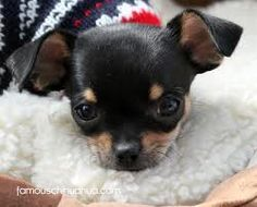 winking black and tan chihuahua Puppy love Pinterest