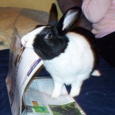 Meet Oreo 2, a Rabbit from Mentor, OH, United States