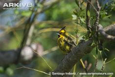 Yellow cardinal perched on branch