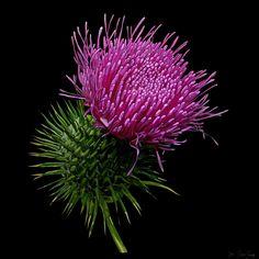Scottish Thistle on Photo Block Scottish Thistle, Photo Blocks, Painting Flowers, Hibiscus, Dandelion, Website, Printed, Digital, Plants