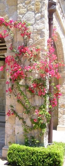 Beautiful bougainvillea climbs and cascades and comes in several different colors.